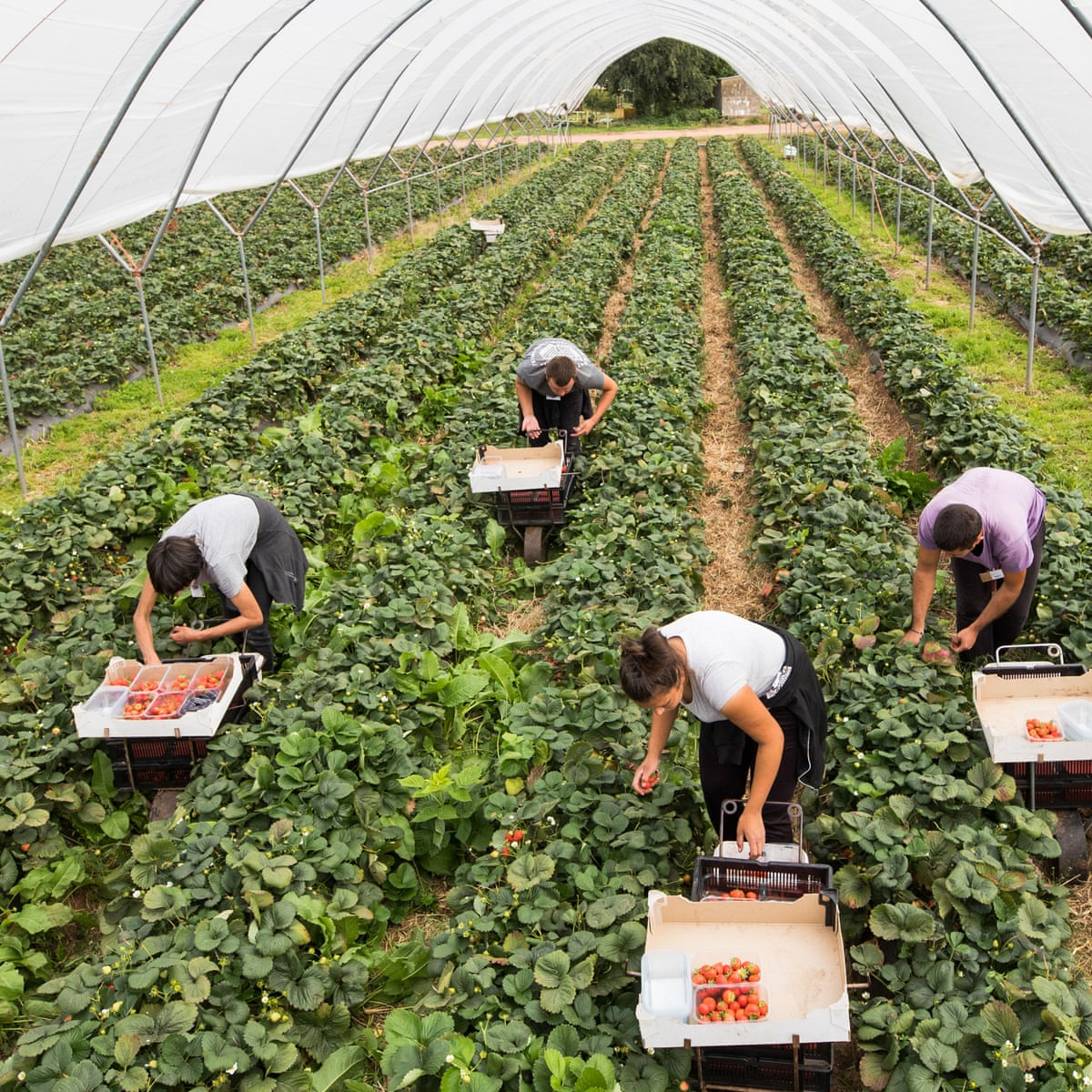 Fruit And Veg Will Run Out Unless Britain Charters Planes To Fly In Farm Workers From Eastern Europe Farming The Guardian