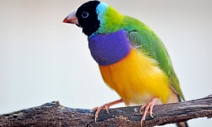 The Gouldian Finch. Have your say in what will be Australia's best-loved bird in Guardian Australia's 2017 poll.