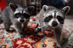 Novosibirsk, Russia: Raccoons in the EnoTime raccoon cafe