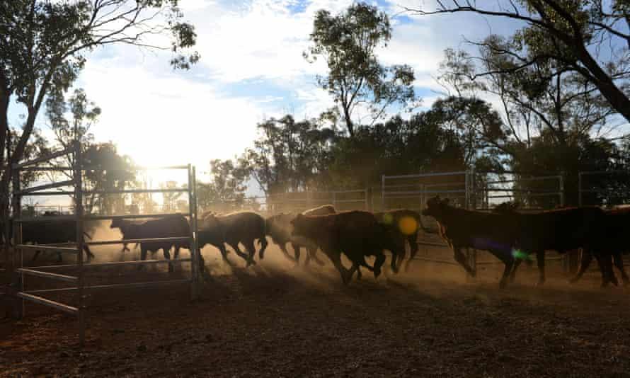 Calves run into an inclosure a property near St George, Queensland.
