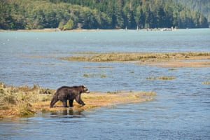 Young grizzly bear fishing in Knight Inlet, Great Bear Rainforest, British Columbia.