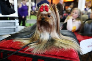 Pip, a YorkshireTerrier breed, sits during the 143rd Westminster Kennel Club Dog Show