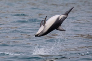 A dusky dolphin jumps out of the water in Kaikoura Bay, New Zealand