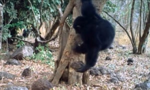 A young chimp collects rocks in a hollow tree trunk