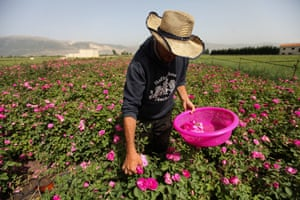 Salem al-Azouq picks roses at his planation in the Bekaa valley, Lebanon.