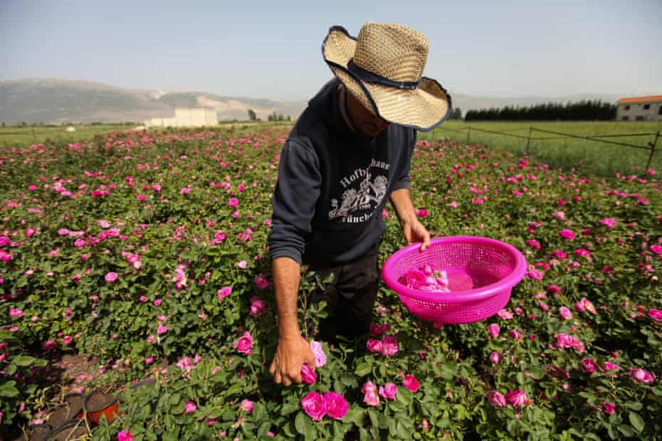 Salem al-Azouq picks roses at his planation in the Bekaa valley, Lebanon.