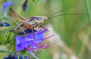 A grasshopper in a meadow near Reitwein, Germany