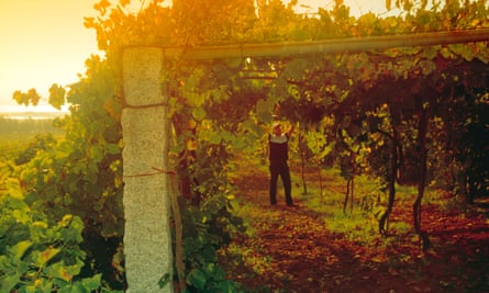Harvesting grapes in Galicia, north-west Spain.