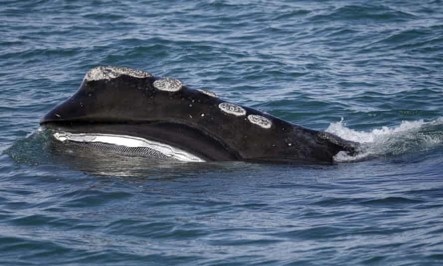 Right whales' habit of feeding leisurely at the surface made them ideal for hunting and now leaves them vulnerable to ship strikes and entanglement in nets.