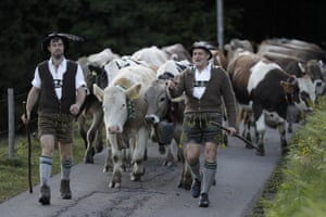 Bavarian herdsmen in drive their cattle on the return from summer pastures