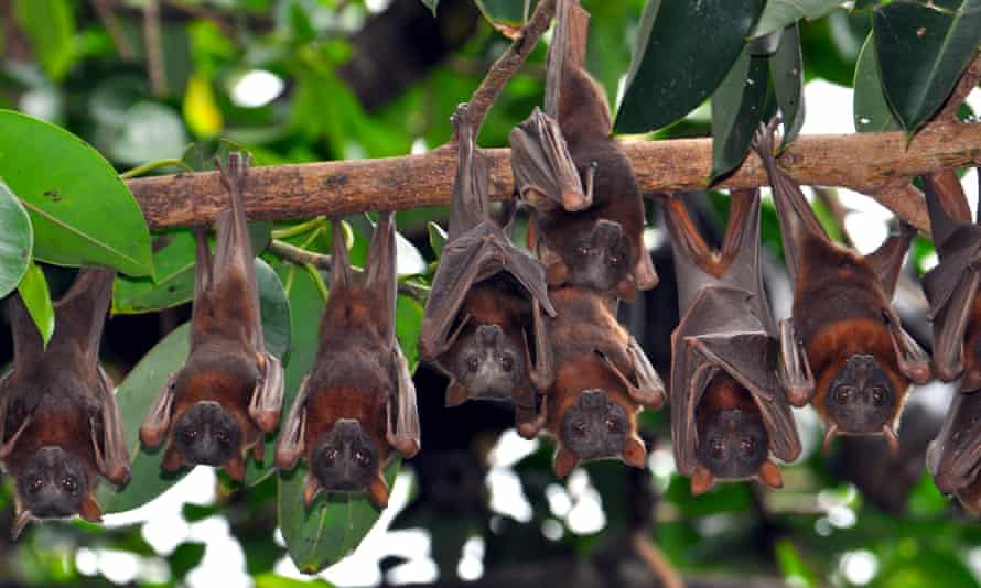 flying foxes hang from a branch in queensland australia