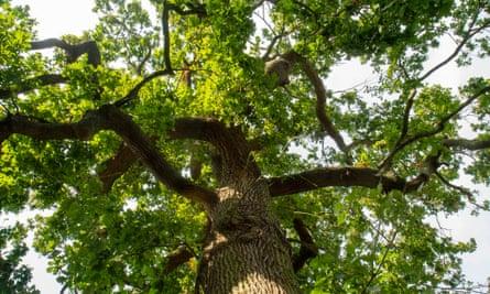 The oak tree after a branch had fallen.