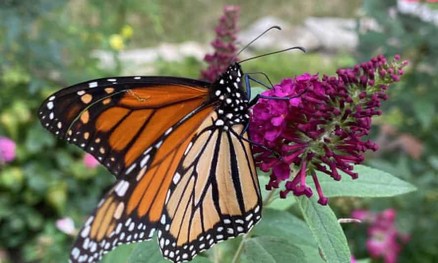 A migrating monarch butterfly feeds on nectar from a butterfly bush in a backyard in Racine, Wisconsin.