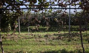 Kiwi trees struck by moria outside Sommacampagna, near Verona