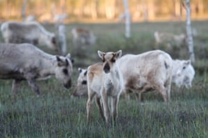 Drilling would take a heavy environmental toll, reindeer herders say.