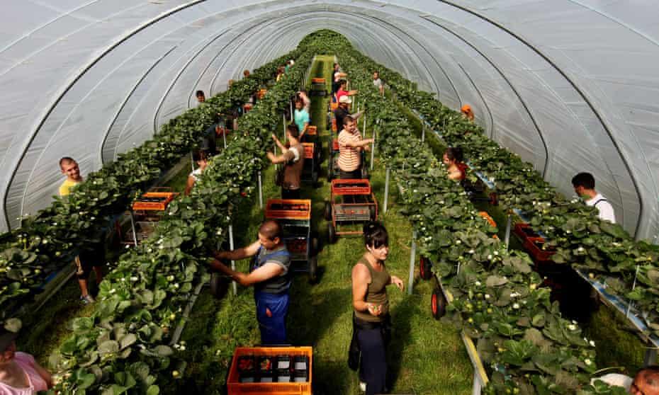Strawberry pickers in poly-tunnels. Kelsey Farm, Wickhambreaux, Canterbury, Kent