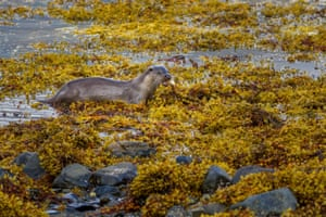 An otter carries a fish it has caught out of the sea on to the seaweed, Isle of Mull, Scotland