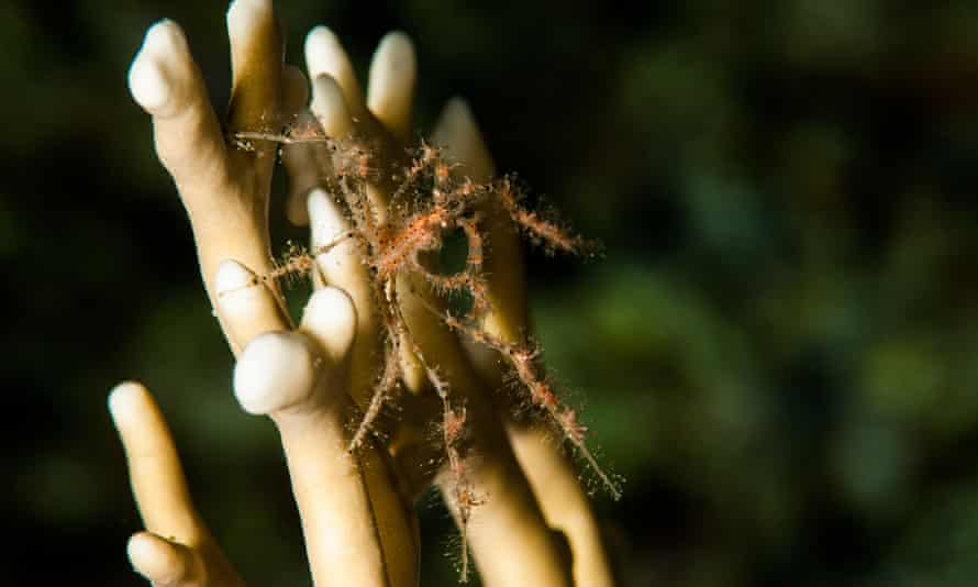 The crabs appear to have more polyps on their second and third leg pairs, which they wave in the current to catch plankton.