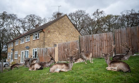 Fallow deer from Dagnam Park rest and graze on the grass outside homes on a housing estate in Harold Hill in Romford, England, in April 2020.