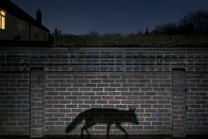 <strong>GDT European wildlife photographer of the year, October</strong><br>Overall winner: <em>Shadow</em> walker by Richard Peters (UK)<strong> '</strong>Taken in my back garden, the image shows the shadow of an urban fox on its nightly patrols ... I placed the camera up high enough to show the neighbouring house, and using a 30-second exposure setting, I also captured the stars in the night sky. I did not plan to include the upstairs light in the neighbour's house, but it helps connect the human and wild elements of the image, giving context to the story. The camera was triggered by a light barrier when the fox walked by.'