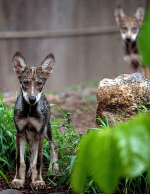 Mexican wolf cubs