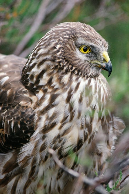 English hen harriers have had a better year, with 18 chicks fledging (none on grouse moors)