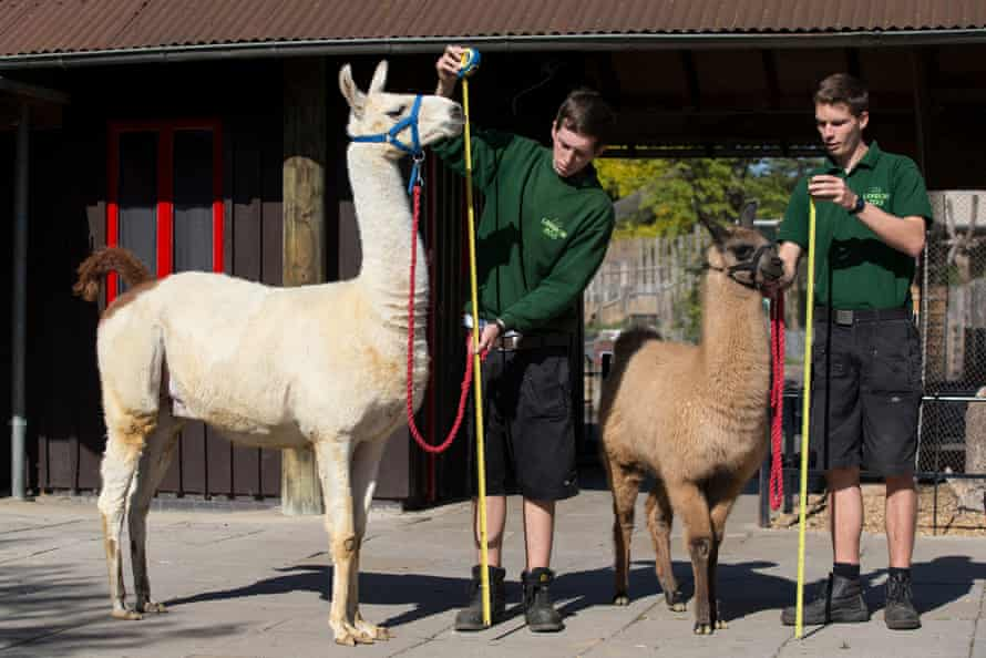 Adam Davies, pictured right with a llama, dated Sanders for five years but started a relationship with Westlake after they split, the court heard.