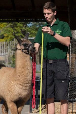 Llama-keeper Adam Davies was the object of both women's affections, the court heard.