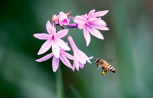 A bee comes to land on a flower while its searches for pollen, Magaliesburg, Johannesburg, South Africa