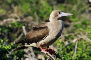A red-footed booby from the Galapagos. Note its brown tail.