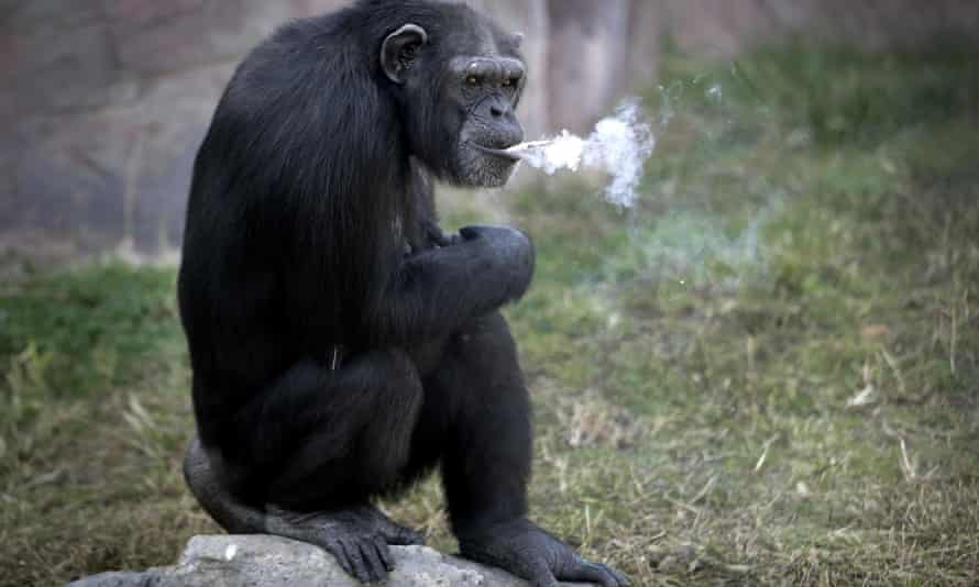 Azalea, the smoking chimpanzee at the Central Zoo in Pyongyang, North Korea.