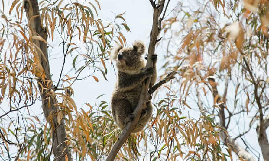 Logging is continuing in forest proposed for the Great Koala national park.