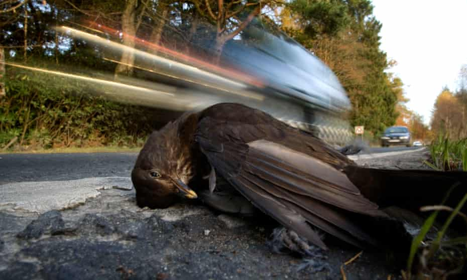 A female blackbird lies on the road in Stirlingshire, Scotland, as the traffic whizzes by.