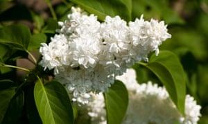 The elegant double white blooms of the common lilac, Syringa vulgaris 'Madame Lemoine'.