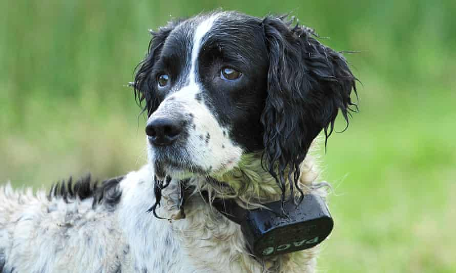 A dog wearing an electrically controlled shock collar