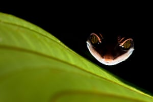 Photographed during a night walk through the Kubah national park on the island of Borneo, a cat gecko, which gets its name from the way it curls up its tail to cover itself while sleeping.