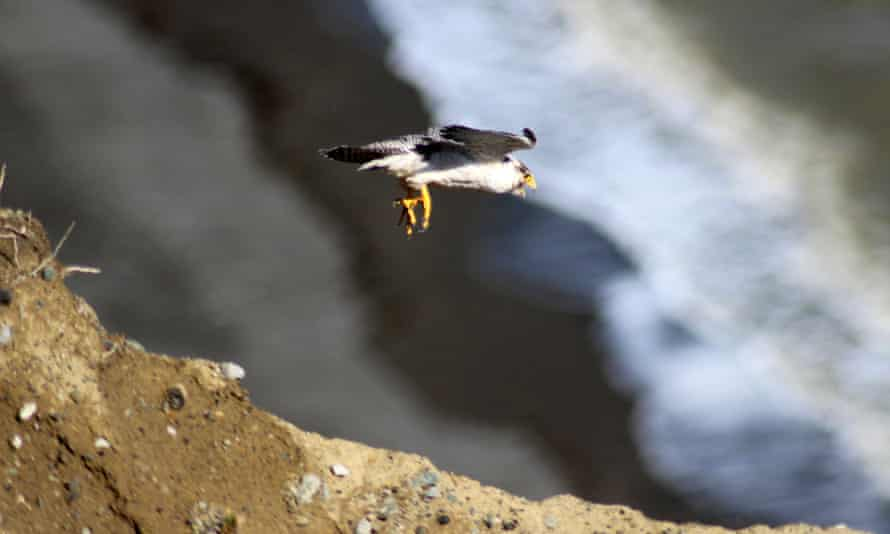 A peregrine falcon flying in San Gregorio, Patagonia, Chile.