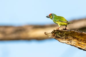 A coppersmith barbet perching and looking into the distance in Thailand