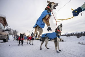 Oogruk, a dog in Kristy Berington's team, jumps before departure from Takotna, Alaska, Thursday, March 12, 2020, during the Iditarod Trail Sled Dog Race.