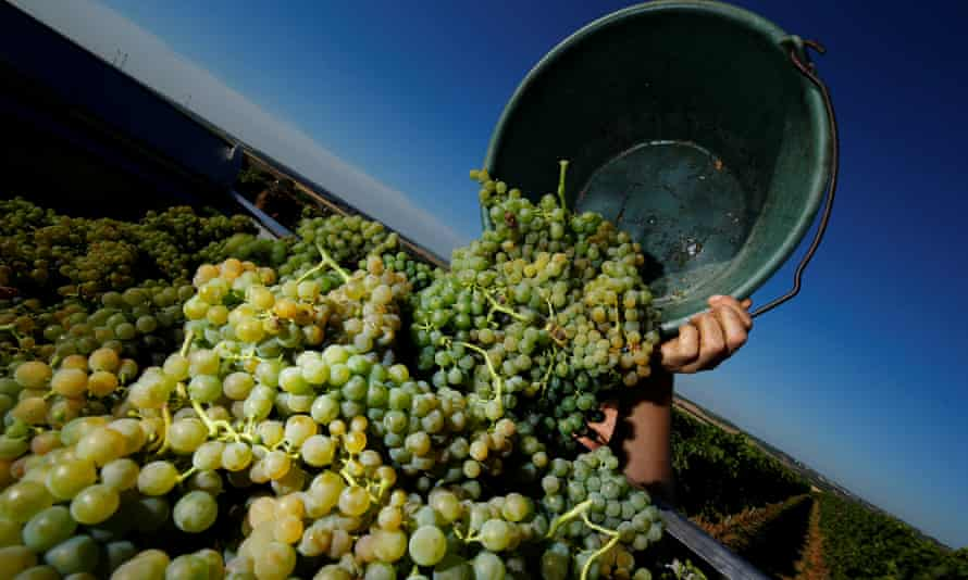 Grapes being harvested at the MR Mathias Wolf vineyard in Loerzweiler, Germany