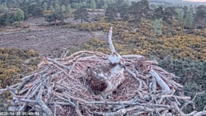 Poole Harbour Osprey Nest Camera
