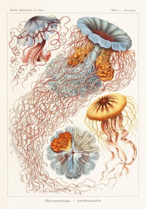 Cnidarians Art Forms in Nature, 1899–1904, plate 8
