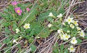 A pink primrose among a wild population