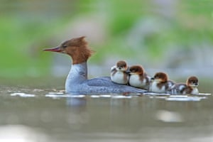 A female goosander (Mergus merganser) on an upland stream with her newly hatched brood, on the edge of the Cheviot Hills in Northumberland