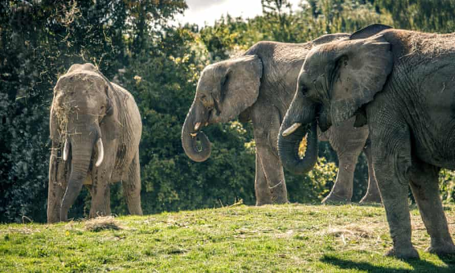 Elephants from the herd at Howletts Wild Animal Park.