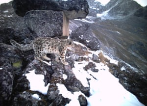 Snow leopard in Wolong national nature reserve, Sichuan province, China.