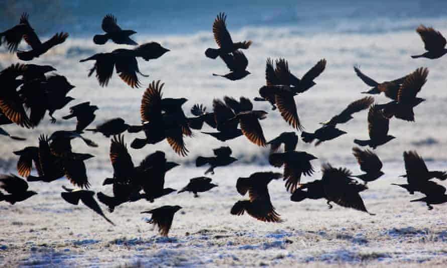 A large group of western jackdaws takes flight over winter snow