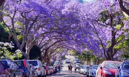 Jacarandas in bloom on a Sydney street