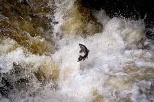 Migrating salmon are seen leaping at Buchanty Spout on the River Tay in Perthshire, UK