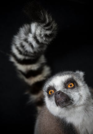 Ring-tailed lemurStink fights occur when rivals waft their fragrant tails at each other.